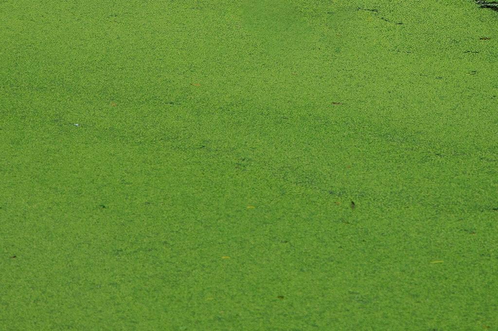Algae used to create vegan omega 3 supplements. DHA, EPA, DPA Algal Oil